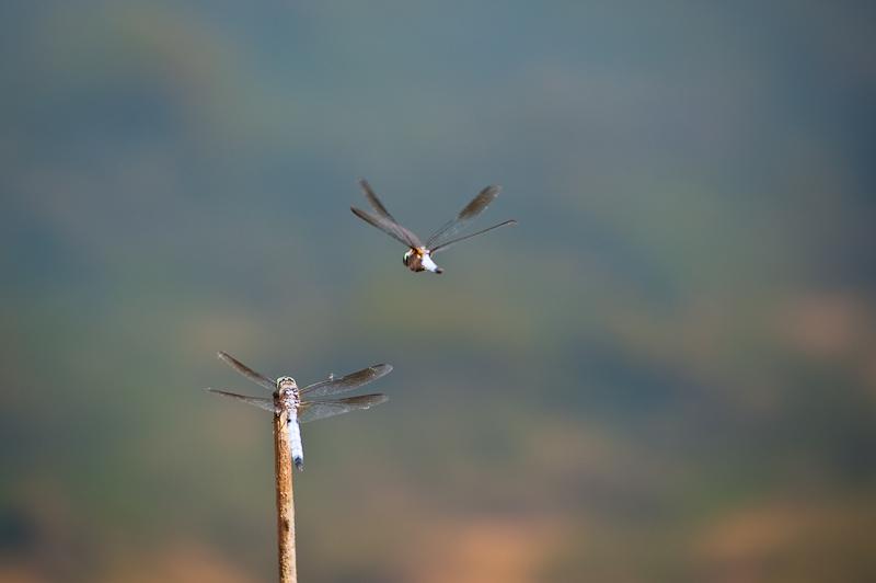 Day 211: Dragonflys