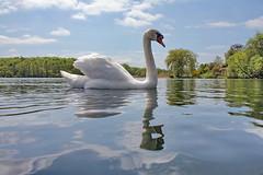 Swan and clouds - IMG_3045a (Ablume - back on naturewatch) Tags: copyright nature muteswan cygnusolor knopsvane naturewatcher dazzlingshots alfblumehotmailcom funfanphotos nationalfugl