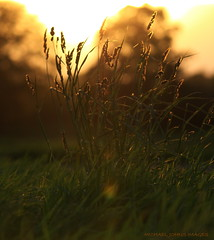 WHERE GRASSES GLOW (michaeljohnsimages) Tags: life camera ireland light sunset shadow summer sun colour reflection green art love nature beauty grass leaves canon gold golden photo flickr shine bright sweet bokeh picture best explore observe transparent lush shimmer fragrance