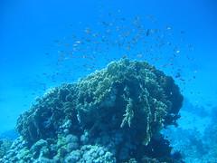 136_3679 (LarsVerket) Tags: egypt snorkling fisk undervannsfoto