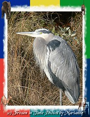 P2200516+2 GREAT BLUE HERON IN WILDLIFE FRAME (Frozen in Time photos by Marianne AWAY OFF/ON) Tags: bird nature birds virginia wildlife animalplanet greatblueheron nationalwildliferefuge ardeaherodias naturesfinest chincoteagueisland greatblueherons youlookinatme friends~ framedphotos photocolor backyardbirdwatching nationalgeographicwannabes mywinnerstrophy voicesinthewildernessaprayerforwildthings anawesomeshot wildlifeoftheworld faithfulflickrfriends birdsarebeautiful thefriendsofworldbirds flickrmacroaward superamazingshots altovuelo birdsinsideandoutside ~ilovenature~ natureunlimitedpublicgroupforever photowatermarkframes livinglifethroughalens naturegreenstar nationalgeographiswannabes