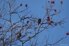 Là haut dans les arbres... (fabdebaz) Tags: 31 distillery janvier 2009 oiseau baziège aficionados hautegaronne k10d pentaxk10d justpentax collectionnerlevivantautrement vosplusbellesphotos sturnusvulagaris baziege janvier2009