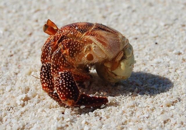 Nude hermit crab