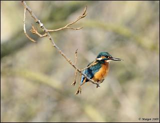 Kingfisher / IJsvogel / Alcedo atthis.