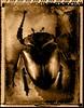 Dead Things 01 (perrymanuk) Tags: macro film polaroid 4x5 lf f2 type55 sinar goliathbeetle