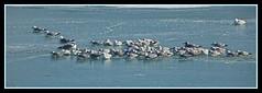 seagulls day34 (jonrecana) Tags: winter seagulls birds frozenlake