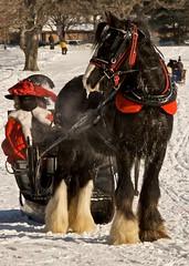 (sjbp) Tags: minnesota stpaul shire sleigh cutter drafthorse stpaulwintercarnival englishshire sleighandcutterfestival