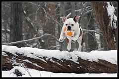 PUP PUP AND AWAY!!! (NYPDAN77) Tags: dog snow cute puppy victorian bulldog fetch bullies