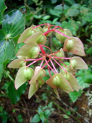 Begonia bracteosa
