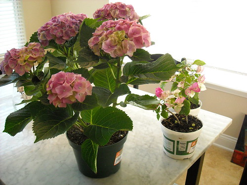 Hydrangea and Bougainvillea