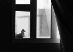 Sending my feelings with a pigeon ~ (Crazy Princess) Tags: bw white black window dark with pigeon room explore sending feelings explored crazyprincess