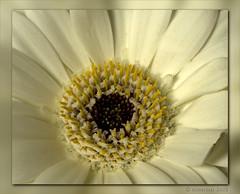 Van Bob....... (Dimormar!) Tags: flower macro gerbera wit bloem boeket