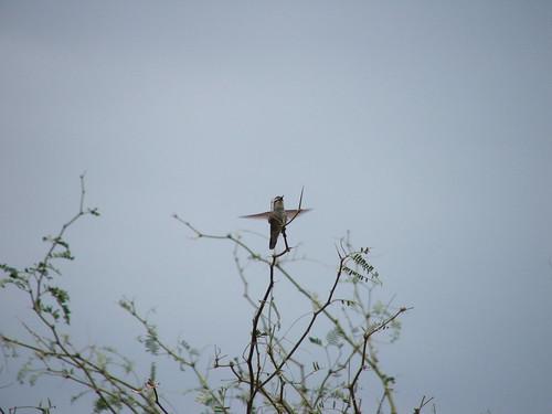 Hummingbird Spreads Her Wings