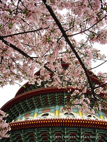 天元宮櫻花33