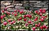 Tulip Days '09 Istanbul (Kuzeytac) Tags: travel pink red flower color colour green nature wall turkey garden geotagged grey spring view bokeh postcard türkiye turkiye vivid natura scene istanbul explore tulip daisy bud bahçe topkapipalace geotag beyaz leyla bahar manzara çiçek yeşil lsi papatya lale gulhane gri kırmızı renk sarayburnu doğa tabiat renkler ilkbahar pembe topkapısarayı canon70300isusm tarihiyarımada tulipdays fantasticflower canoneos400d canoneosdigitalrebelxti turkishtulip kuzeytac lalegünleri aqualityonlyclub