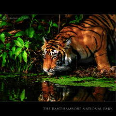 ...of a Princess in the Jungle (CoSurvivor) Tags: india wildlife tiger soe rajasthan ranthambore blueribbonwinner flickrsbest specanimal animalkingdomelite platinumphoto royalbengaltiger theunforgettablepictures goldstaraward thesuperbmasterpiece phvalue artofimages goldendiamondblog bestcapturesaoi imagicland magicunicornverybest magicunicornmasterpiece