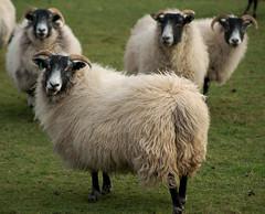 """You Got A Problem?  I've Got Backup....."" (M-J Turner) Tags: england lake sheep district cumbria eskdale blueribbonwinner abigfave theperfectphotographer goldstaraward peregrino27life"