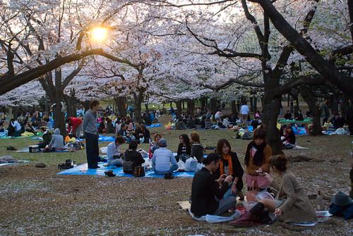 Sakura in Yoyogi 11