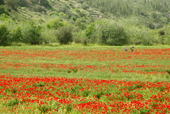 Red sea crossing at Passover week : - ) (David Lev) Tags: red green israel spring wildflowers soe naturesfinest poppiesfield shieldofexcellence landscapesofvillagesandfields spiritofphotography