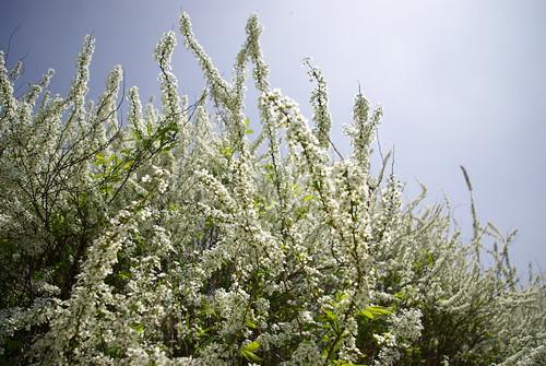 조팝나무 축제