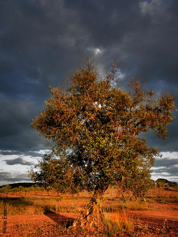 La sombra del olivo también es alargada