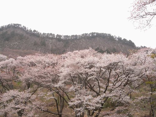 【桜】『屏風岩公苑』@曽爾村-02