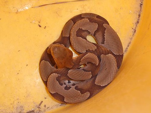 Copperhead in a bucket