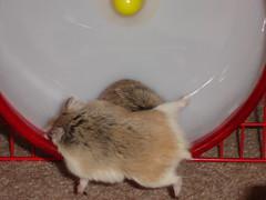 Roborovski Dwarf Hamster