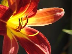 Hemerocallis roja