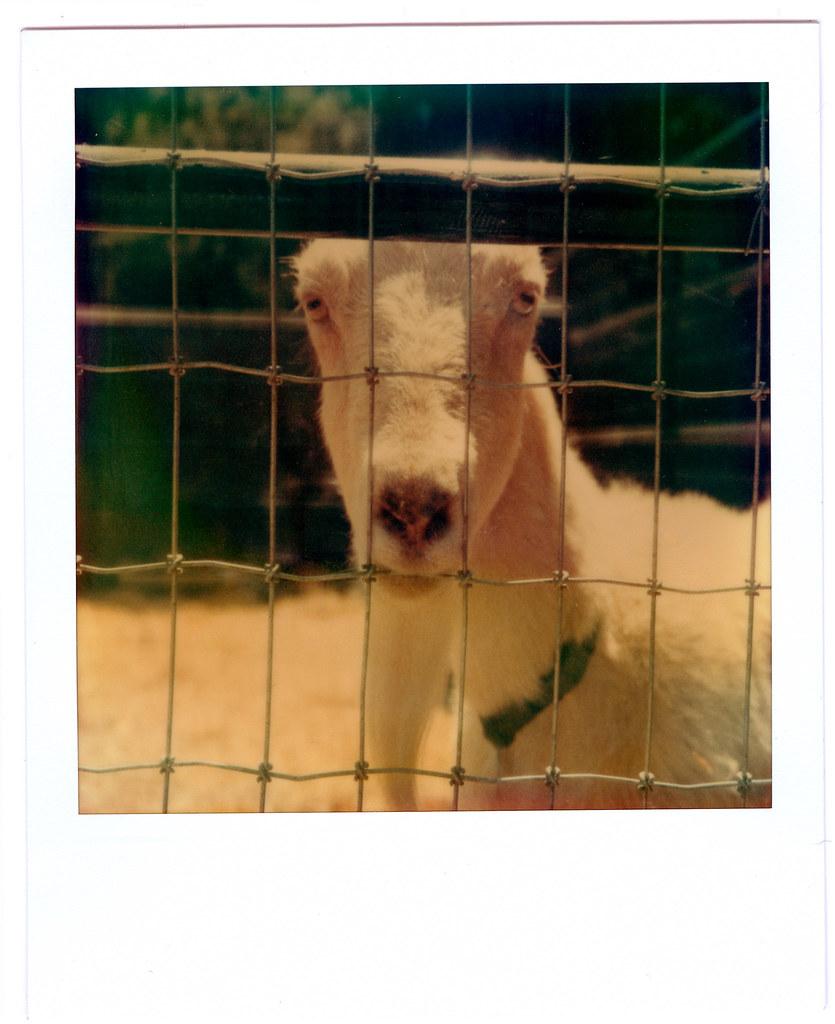 Polariod-09-04-005-Goat