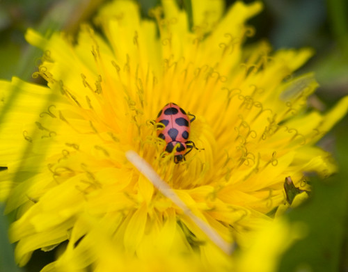 twelve spotted lady beetle_3