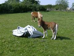 Arwakr (tinki09) Tags: pony 2009 shetland fohlen