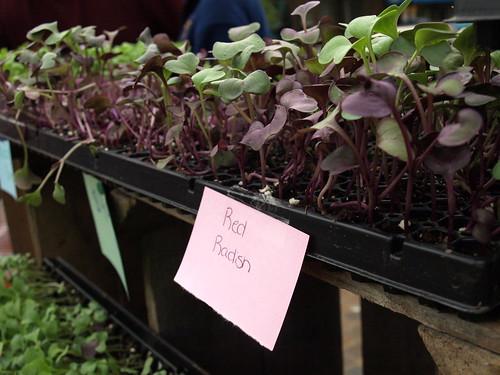 red radish micro greens