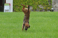 Border terrier & frisbee (exer6) Tags: dog chien puppy terrier chiot superdog borderterrier flyingdisc superborderterrier