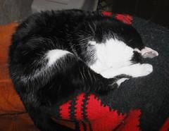 Lovie, snoozing on the back of a recliner (Hairlover) Tags: pet cats pets public cat kitten kitty kittens kitties 20yearsold hairlover allcatsnopeople