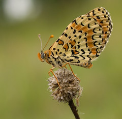 Mlite orange (Melitaea didyma) Spotted Fritillary (Sinkha63) Tags: france macro nature beautiful animal closeup butterfly insect spring searchthebest wildlife lepidoptera papillon getty prairie printemps pelouse insectes gettyimages corrze protected limousin insecta nymphalidae spottedfritillary lpidoptre pgt kartpostal melitaeinae melitaeadidyma platinumheartaward buzznbugz natureoutpost ahqmacro melitaeini didymaeformiadidyma mliteorange saintcernindelarche artofimages saariysqualitypictures bestcapturesaoi sailsevenseas