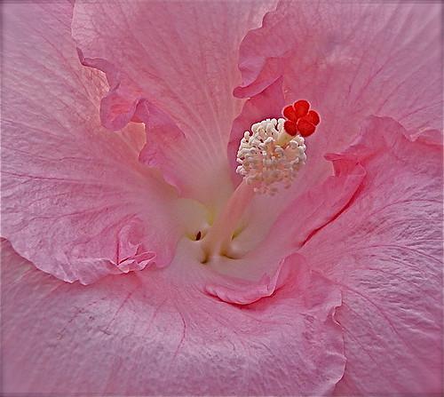你拍攝的 hibiscus。