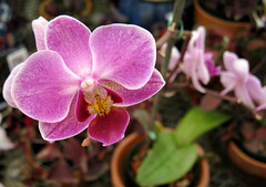 """""""Her Majesty's Rubies"""" orchid (?) (rosewithoutathorn84) Tags: pink plants flower macro estate orchids bokeh greenhouse picturesque lyman concordians"""