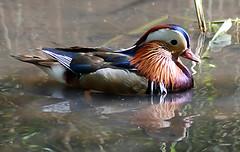 Mandarin (trucker665066) Tags: bird animal nikon westsussex mandarinduck arundel wwt d80 slbswimming