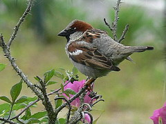 FBI: P2490673 MALE HOUSE SPARROW HANGIN OUT ON A BRANCH BY THE SEA GIRT LIGHTHOUSE (Frozen in Time photos by Marianne AWAY OFF/ON) Tags: friends nature wildlife housesparrow passerdomesticus fbi birdlovers housesparrows seagirt youlookinatme malehousesparrow favoritesbyinterestingness birdfanaticsnolimits heartawards animalswithattitude malehousesparrows seagirtnewjersey ilovemypics yagottastartsomewhere photossansfrontiresnopeople yagottastartsomewhereseethenewfrontpagephotowinners