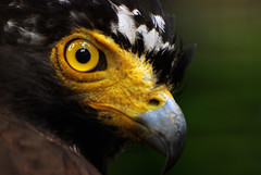 Crested Serpent Eagle II (Firdaus Mahadi) Tags: china africa pakistan usa india bird birds animals indonesia asian zoo lowlight southeastasia dof unitedstates eagle bokeh hawk availablelight australia depthoffield malaysia falcon srilanka potrait boke sulawesi eagles hearing melaka malacca eurasia southasia potraiture  sumatera crestedserpenteagle accipitridae potret helang zoomelaka nikkor70300vr bokeru malaccahistoricalcity firdausmahadi melakabandarayabersejarah firdaus falconiformers klueewipwip wwwfirdausmahadicom