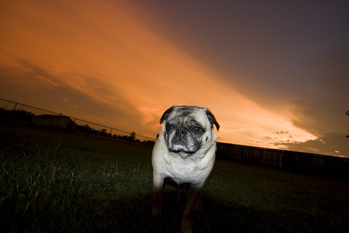 My Sunset Pug