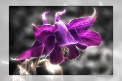 Columbine tweaked (Thomaniac) Tags: plant flower macro green closeup canon eos flora bokeh natur pflanze violet lila columbine grn blume nahaufnahme redfield colorkey akelei efs60mmmacro lens00025 450d fractalius thomaniac