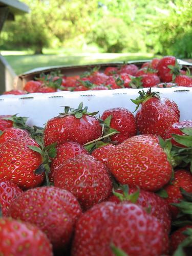 Seedling strawberries