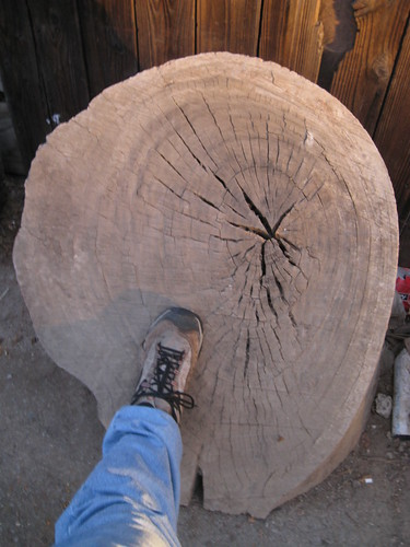 huge Eucalyptus log