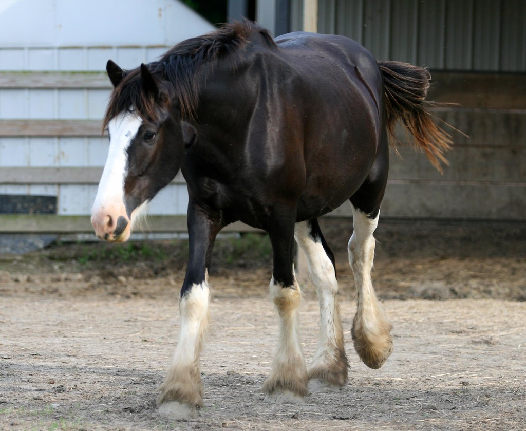 paint clydesdale - photo #4