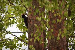 Palokärki 3 (MikkoH77) Tags: martius linnut dryocopusmartius dryocopus palokärki tikat tikkalinnut palokärjet