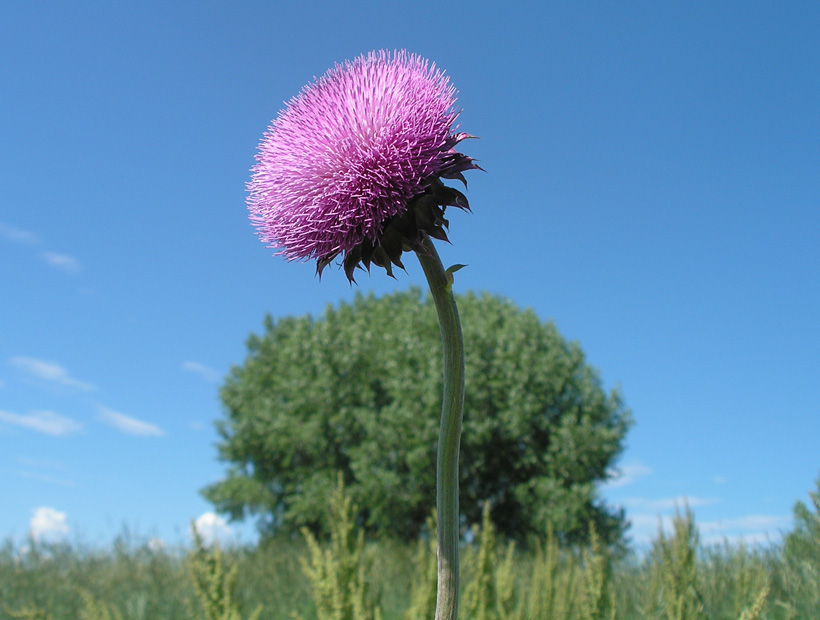 Tree with Thistle