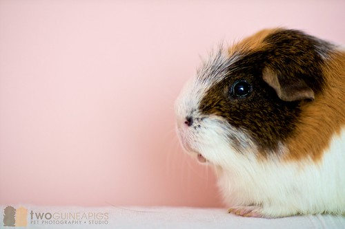 wiggley the guinea pig entering the frame