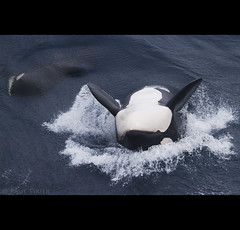 childish (Paul Tixier) Tags: orca killerwhale crozet blueribbonwinner specanimal